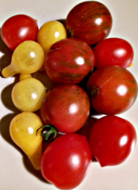 Les dernières tomates cocktail