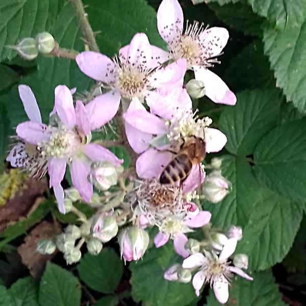 une abeille butine les fleurs de ronce